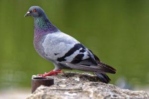 Enlever l'excrément de pigeon