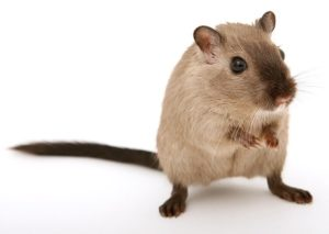 exterminer les rats