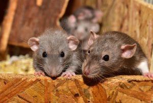 Se débarrasser de rats